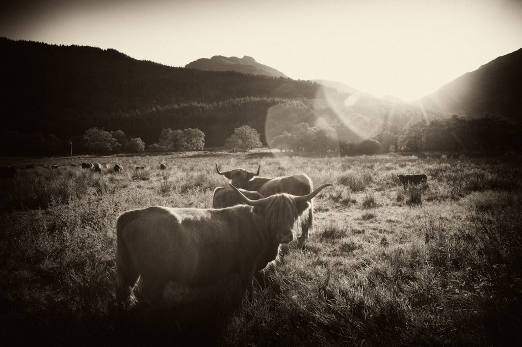 highland cattle in the landscape